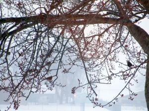 Cardinals in the Kentucky Winter Fog