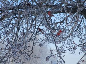 Kentucky Cardinals in Winter February 2015