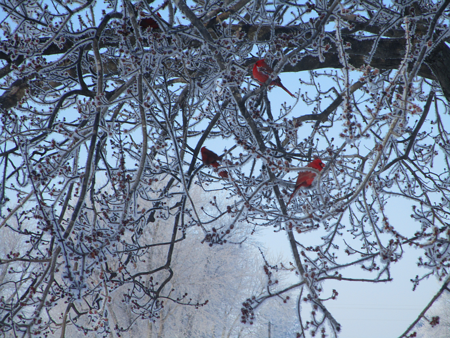 Kentucky Cardinals in Winter February 2015