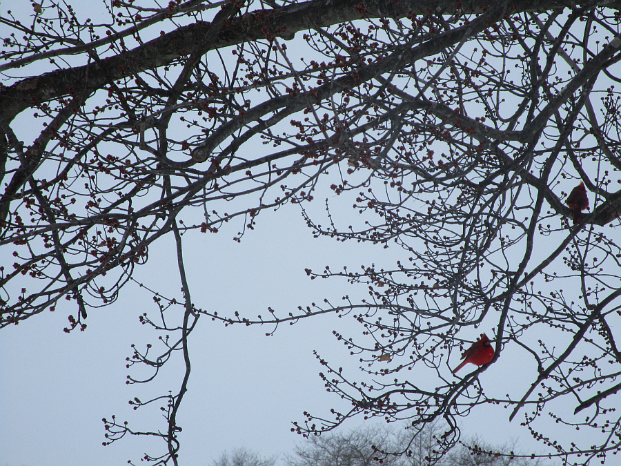 Cardinals Winter Tree Kentucky 2015