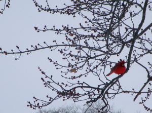 Kentucky Cardinal Winter 2015
