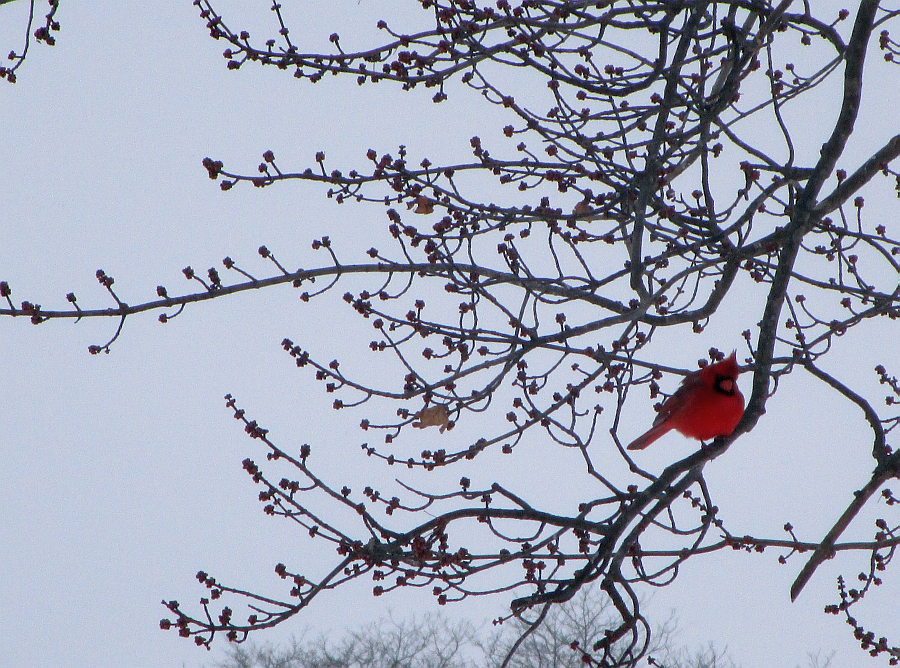 Kentucky Cardinal Winter 2015