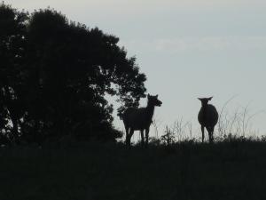 Elk at the Elk & Bison Prairie, LBL