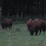 Bison at the Elk and Bison Prairie