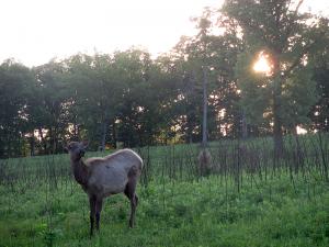 Elk at the Elk and Bison Prairie