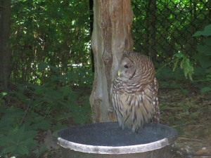 One of the Owls at The Nature Station,