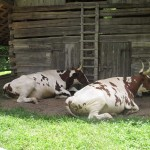 Oxen at The Homeplace