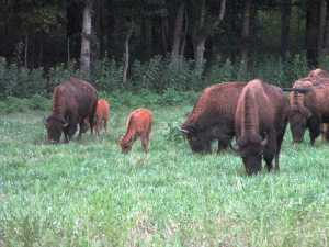 Bison at the Elk and Bison Prairie in Kentucky's Land Between the Lakes