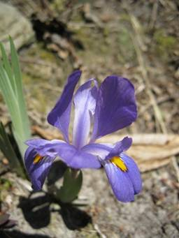 Crested Dwarf Iris at Carter Caves