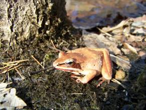 Wood Frog at Natural Bridge State Park