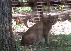 Bobcat at Woodlands Nature Station (Land Between the Lakes)