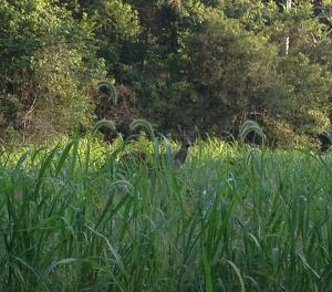 Deer near Sugar Bay (LBL)