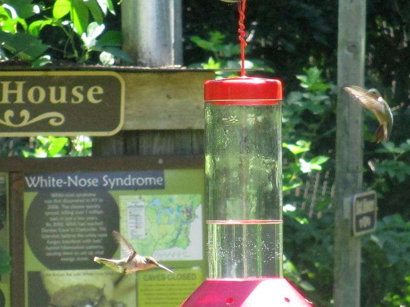Hummingbirds at The Nature Station (Land Between the Lakes)