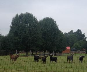 Goats in Lewisburg, Kentucky 2