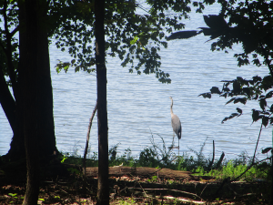 Heron in the Land Between the Lakes