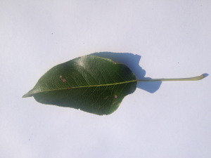 Leaf Against a White Background