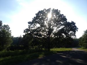 Tree in the Elk and Bison Prairie