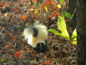 Beautiful Skunk at the Nature Station in Kentucky's Land Between the Lakes.