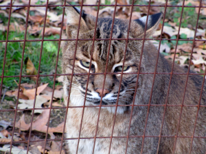 My Beautiful Friend, the Bobcat at the Nature Station