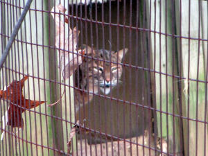 Bobcat at the Nature Station (Land Between the Lakes)