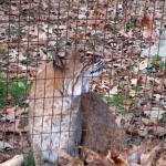 Bobcat at the Nature Station (Land Between the Lakes)