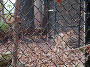 Coyote at the Nature Station