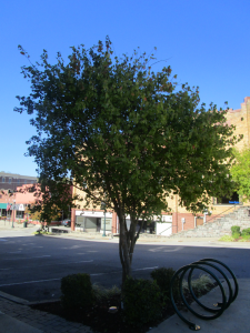 Tree Downtown Greensburg, Kentucky