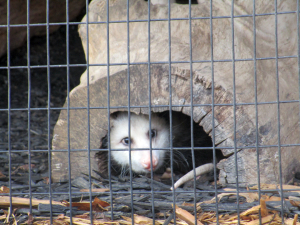 Opossum at the Nature Station