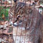 Bobcat at Woodlands Nature Station in the Land Between the Lakes (November 2015)