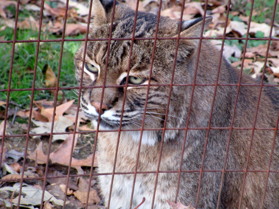 Bobcat at Woodlands Nature Station in the Land Between the Lakes (November 2015)