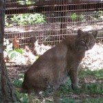 Bobcat at Woodlands Nature Station in the Land Between the Lakes