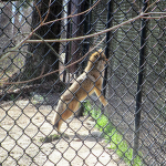 Coyote at Woodlands Nature Station