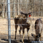 Deer at Woodlands Nature Station
