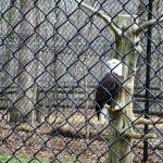 Eagle at Woodlands Nature Station