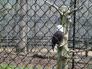 Eagle at Woodlands Nature Station