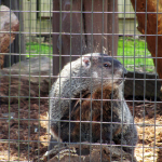 Groundhog at Woodlands Nature Station