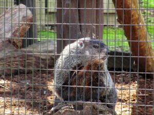 Groundhog at Woodlands Nature Station