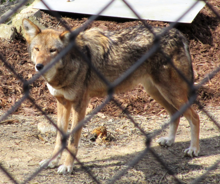 Red Wolf at Woodlands Nature Station