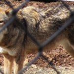 Red Wolf Nature Station LBL Banner