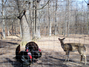 Turkeys and Deer at the Nature Station in the LBL