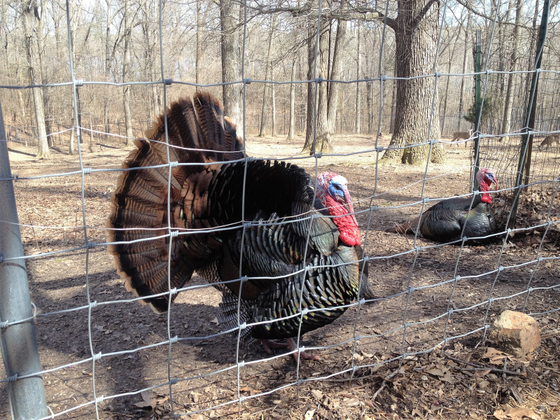 Turkeys at the Nature Station in the Land Between the Lakes (LBL)
