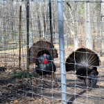 Turkeys at the Nature Station in the LBL