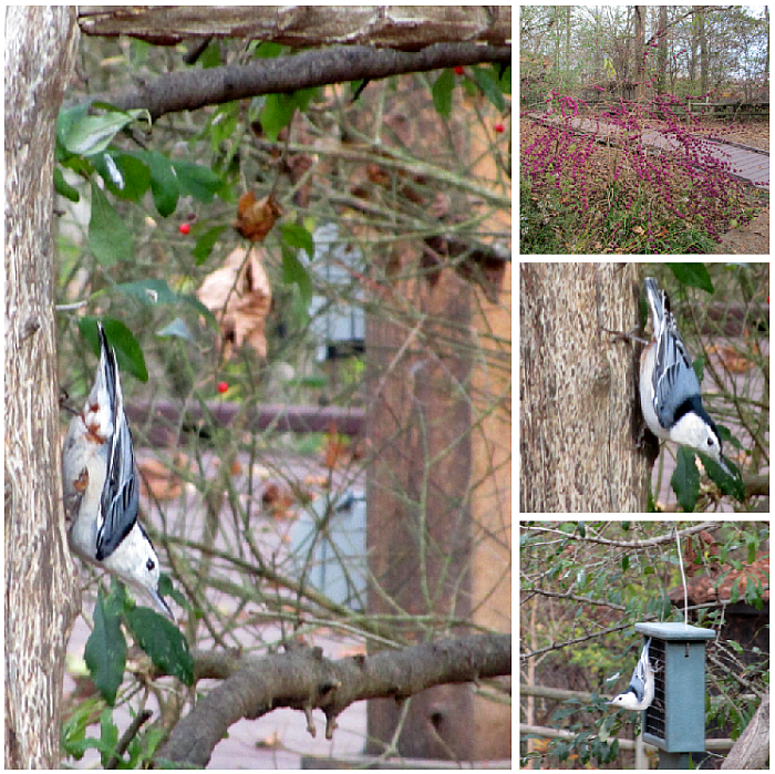 White-breasted Nuthatch at Woodlands Nature Station