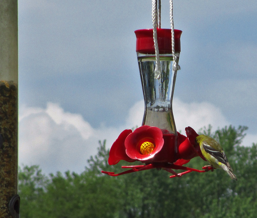 Goldfinch at a Hummingbird Feeder