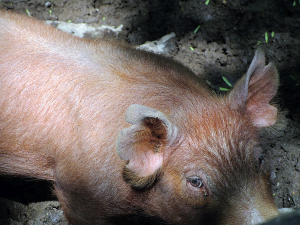 Adorable Pig at the Homeplace