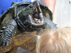 the characteristics of the alligator snapping turtle