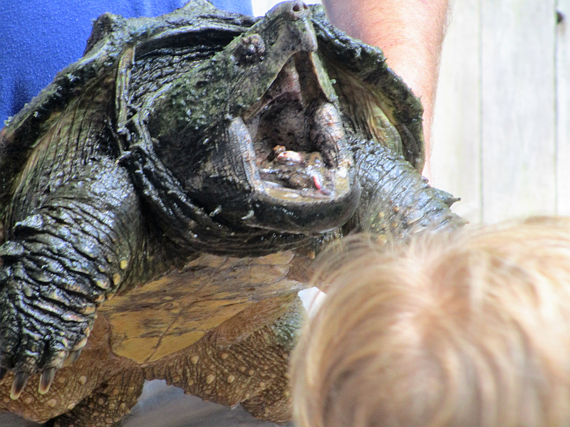 Alligator Snapping Turtle Nature Station in the Land Between the Lakes