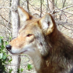 Beautiful Red Wolf at the Nature Station