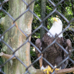 Happy Memorial Day: Beautiful Eagle at the Nature Station in the LBL
