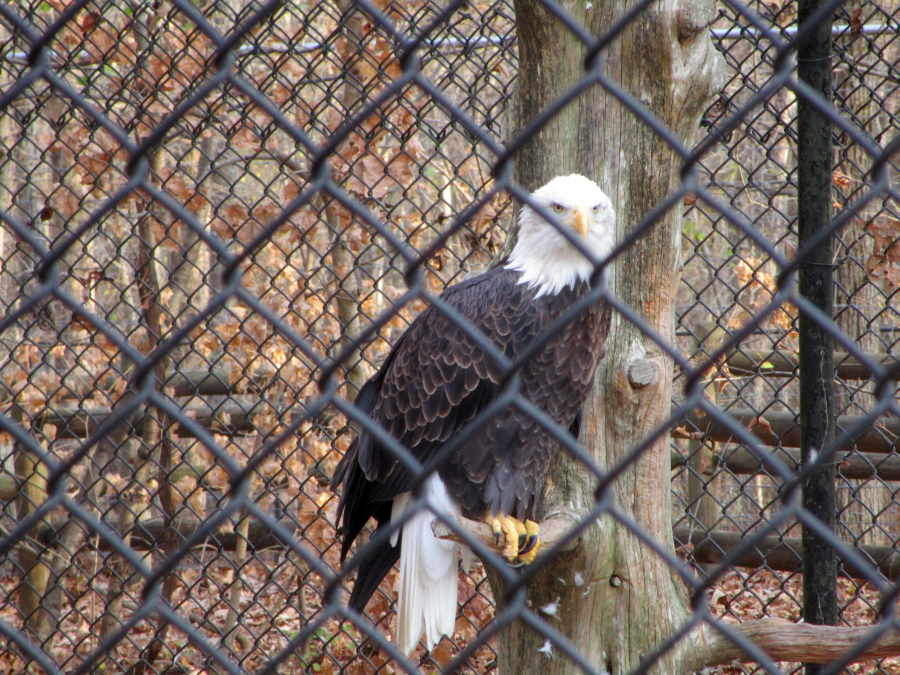 Eagle at the Nature Station